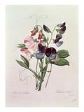 Sweet Peas (Lathyrus Odoratur) from 'Choix Des Plus Belles Fleurs', 1827-33 Premium Giclee Print by Pierre-Joseph Redouté