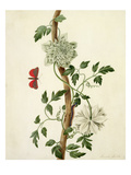Clematis Florida with Butterfly and Caterpillar (Gouache over Pencil on Vellum) Giclee Print by Matilda Conyers