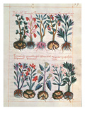 Medicinal Plants (Vellum) Giclee Print by  Mexican