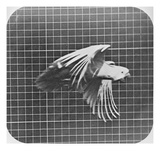 Cockatoo in Flight Giclee Print by Eadweard Muybridge