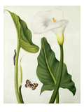 Calla Aethiopica with Butterfly and Caterpillar (W/C and Gouache over Pencil on Vellum) Giclee Print by Matilda Conyers