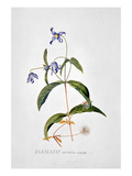 Clematis: Integrafolia Giclee Print by Georg Dionysius Ehret