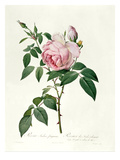 Rosa Chinensis and Rosa Gigantea, from &#39;Les Roses&#39;, 1817 Giclee Print by Pierre Joseph Redoute
