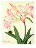Lilium Belladonna and Bee, 1786 (W/C and Gouache over Pencil on Paper) Giclee Print by Matilda Conyers