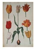 """Tulips: from """"Verzameling Van Bloemen Naar Denatuur Getekend"""" Giclee Print by  Dutch"""