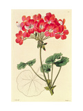Pelargonium from `Neu Arten Von Pelargonium', C.1825-34 Giclee Print by Leopold Trattinick