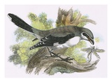 Great Grey Shrike Giclee Print by  English