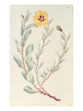 Rose: Persian from the Botanical Register, Published 1829 Giclee Print by M. Hart