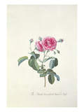 Rose: Dutch Hundred-Leaved Rose Giclee Print by Georg Dionysius Ehret