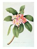 Plumeria Giclee Print by Georg Dionysius Ehret