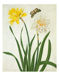 Narcissi and Butterfly (W/C and Gouache with Gold over Pencil on Vellum) Giclee Print by Matilda Conyers