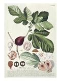 Ficus (Fig) (Coloured Engraving) Reproduction procédé giclée par Georg Dionysius Ehret
