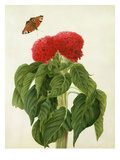 Celosia Argentea Cristata and Butterfly (W/C and Gouache over Pencil on Vellum) Giclee Print by Matilda Conyers