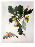 Quercus (W/C and Gouache over Pencil on Vellum) Giclee Print by Matilda Conyers