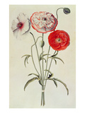 Poppies: Corn (Papaver Rhoeas) Giclee Print by Georg Dionysius Ehret