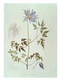 "Clematis Macropetala, from ""Icones Plantarum Floram Rossicam"" 1829 Giclee Print by C. F. Ledebour"