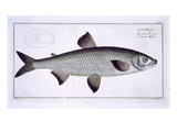 Salmon (Salmo Maraena) Plate XXVII Giclee Print by Andreas-ludwig Kruger