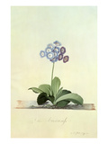 Fille Amoureuse (Blue Auricula) Giclee Print by Georg Dionysius Ehret