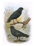 Common Starling (Top) and Intermediate Starling (Bottom) Giclee Print by  English