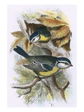 Blue Titmouse Giclee Print by  English