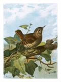 Wren Giclee Print by  English