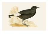 Black Wheatear,  from 'A History of the Birds of Europe Not Observed in the British Isles' Giclee Print by  English