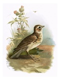 Skylark Giclee Print by  English