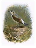 Wheatear Giclee Print by  English