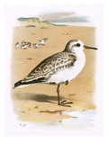 Sanderling Giclee Print by  English
