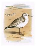 Sanderling Premium Giclee Print by  English