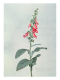 Digitalis Purpurea (Foxglove) (Coloured Engraving) Giclee Print by Georg Dionysius Ehret
