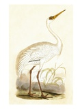 Siberian Crane,  from 'A History of the Birds of Europe Not Observed in the British Isles' Giclee Print by  English