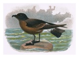 Madeira Petrel Giclee Print by  English