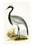Numidian Crane,  from 'A History of the Birds of Europe Not Observed in the British Isles' Giclee Print by  English