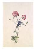 Carnation and Gentian Giclee Print by Georg Dionysius Ehret