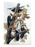 Pileated Woodpeckers Giclee Print by John James Audubon