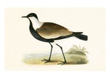 Spur Winged Plover,  from 'A History of the Birds of Europe Not Observed in the British Isles' Impression giclée par  English