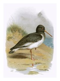 Oyster Catcher Premium Giclee Print by  English