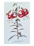 """Lilium Tigrinum (Tiger Lily) from """"L'Antrotrofia Ossia La Coltirazione De Fiori"""" Giclee Print by A. Piccioli"""