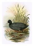 Coot Giclee Print by  English