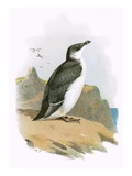 Razorbill Reproduction proc&#233;d&#233; gicl&#233;e par  English