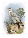 Gyr-Falcon Giclee Print by  English