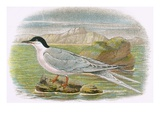 Roseate Tern Premium Giclee Print by  English