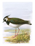 Lapwing Giclee Print by  English