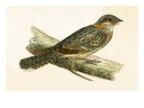 Russet Necked Nightjar,  from 'A History of the Birds of Europe Not Observed in the British Isles' Giclee Print by  English
