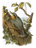 Nuthatch Reproduction giclée Premium par  English