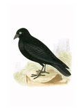 Black Jackdaw,  from 'A History of the Birds of Europe Not Observed in the British Isles' Giclee Print by  English