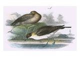 Richardson's Skua Giclee Print by  English