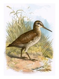 Woodcock Giclee Print by  English