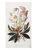 Christmas Rose: from &#39;Medical Botany&#39;, Published by John Churchill, March 1827 (Coloured Engraving) Giclee Print by William Clark